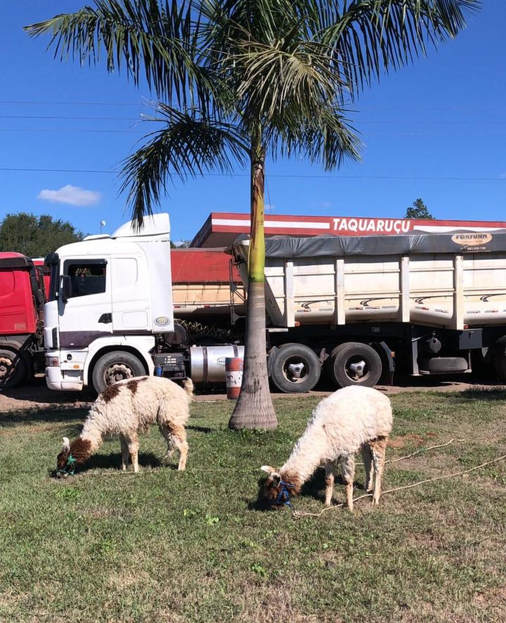 Lhamas ganharam dias de descanso durante a viagem para o Brasil — Foto: Gabriel Dias/Arquivo pessoal