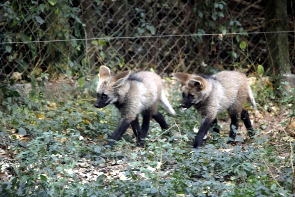 Filhotes de lobo-guará são colocados em exposição no zoológico de Bauru  — Foto: Nayara Campos/Prefeitura de Bauru