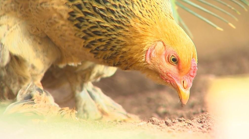 Galinha foi batizada de Tatá pelo pequeno Arthur, que ganhou a ave quando ela ainda era um pintinho (Foto: Reprodução/TV TEM)