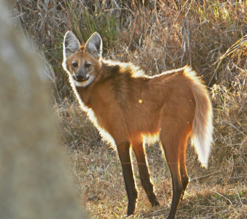 Lobo-guará é filmado por observador em Pouso Alegre (MG)   Vc no ...