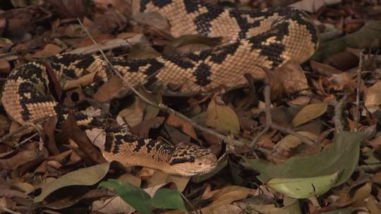 Médico cria serpentário para manter espécie venenosa que está em risco de extinção