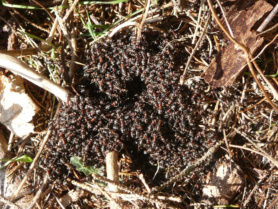Colônia de formica rufa (Foto: Pixabay/Hans/Creative Commons)