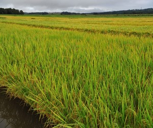 Com poucos negócios, preço ao produtor de arroz cai mais de 6% neste mês