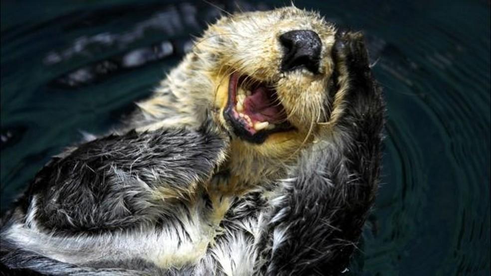A lontra-marinha era a espécie-chave na ilha de Amchitka, na costa do Alasca — Foto: Getty Images/BBC