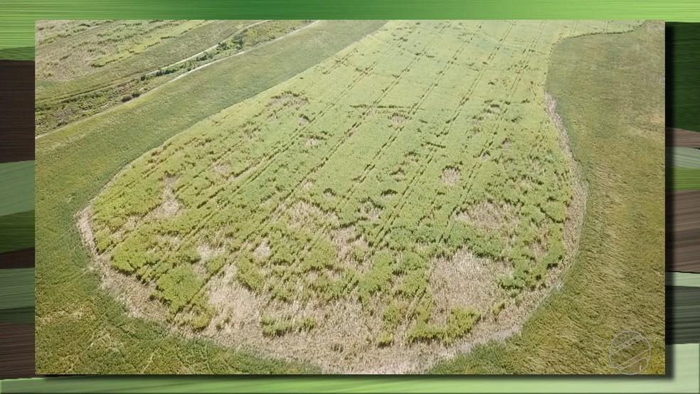 Ataque de porcos selvagens destrói 15% de lavoura de milho de produtor em Água Boa (Foto: TV Centro América/Reprodução)