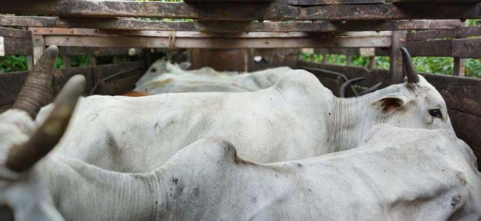 Gado furtado foi devolvido ao proprietário — Foto: Divulgação/PM