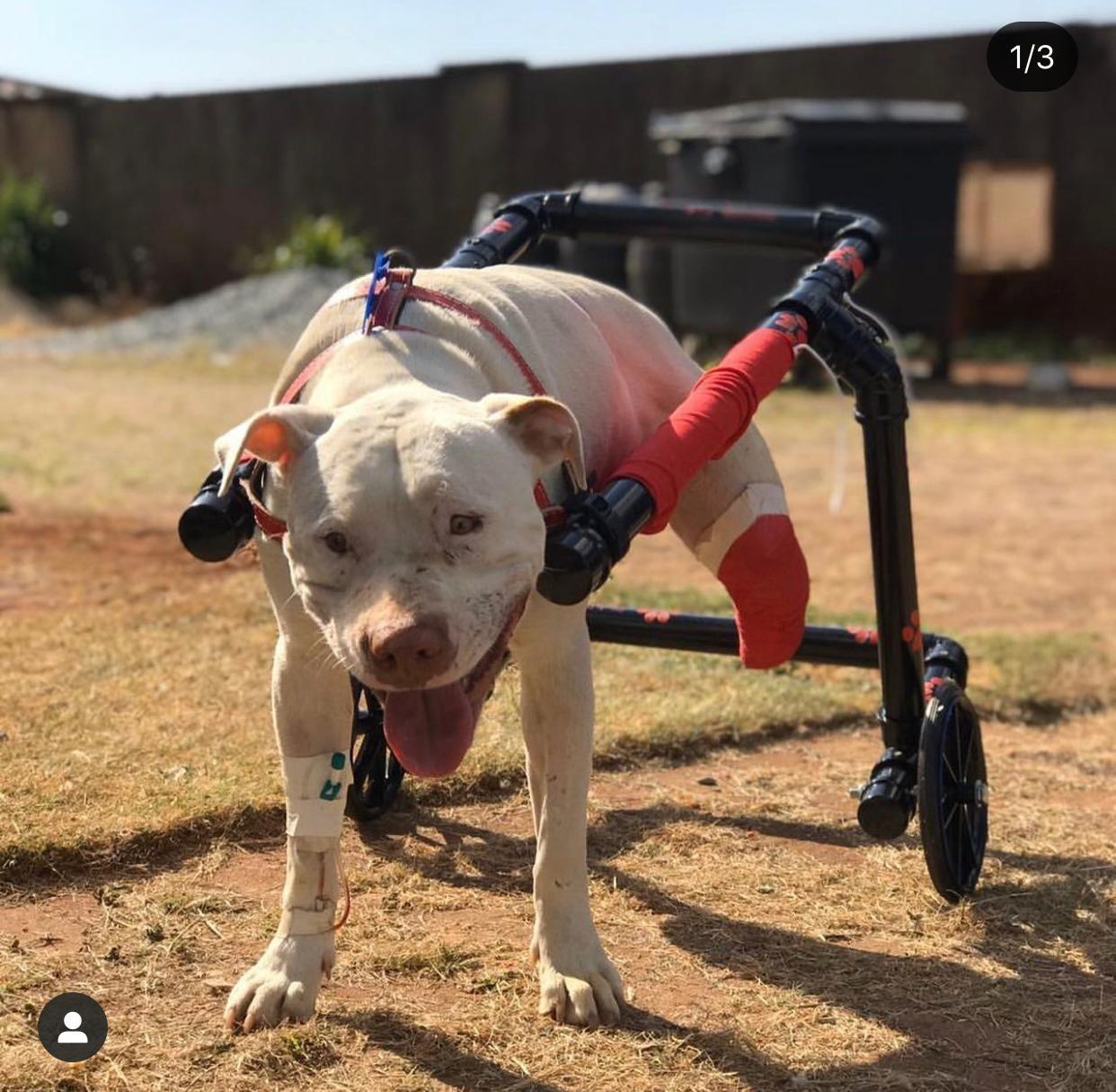 Pitbull que teve patas decepadas ganha cadeira de rodas em Belo Horizonte