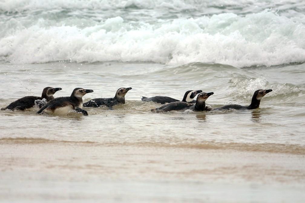 Sete pinguins retornaram ao mar após reabilitação em Florianópolis  — Foto: Nilson Coelho/R3Animal