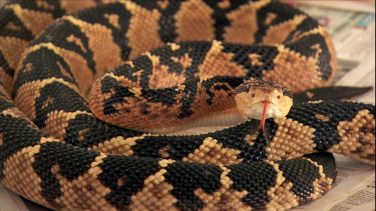 Médico mantém na BA criatório da maior cobra venenosa das Américas
