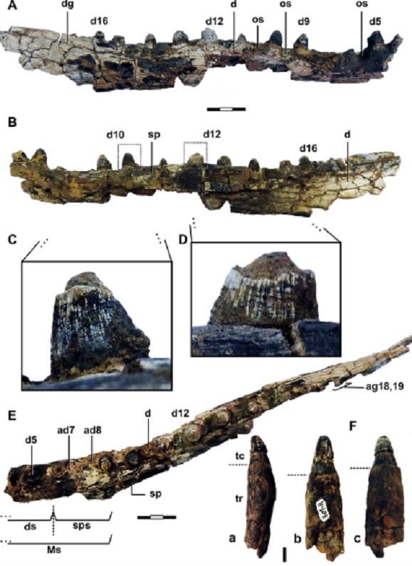 Fósseis de mandíbula e dentes encontrados do Roxochampsa paulistanus: restos mortais provam existência de crocodilo pré-histórico  (Foto: Plos One)