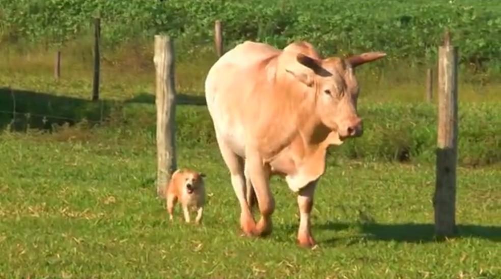 Relação de 'amizade' entre touro Soberano e vira-lata Guerreiro chama atenção em Cianorte, no noroeste do Paraná — Foto: Reprodução/RPC