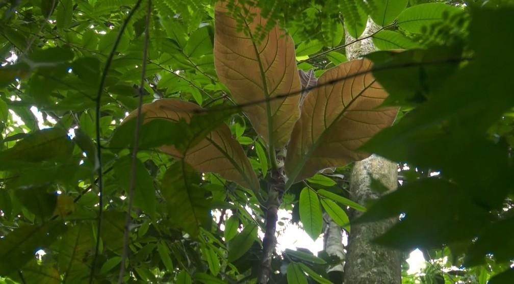 Folha de árvore é considerada a maior do mundo pelo Guinness Book — Foto: Rede Amazônica/Reprodução