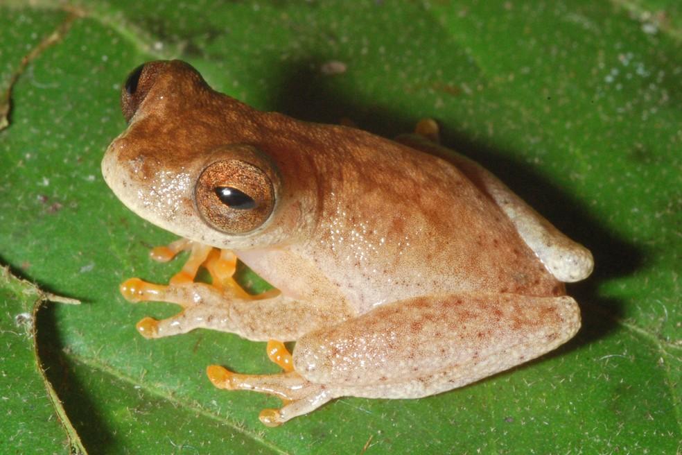O novo anfíbio pertence ao gênero Dendropsophus, do qual fazem parte outras 88 espécies — Foto: Pedro Peloso/Acervo Pessoal