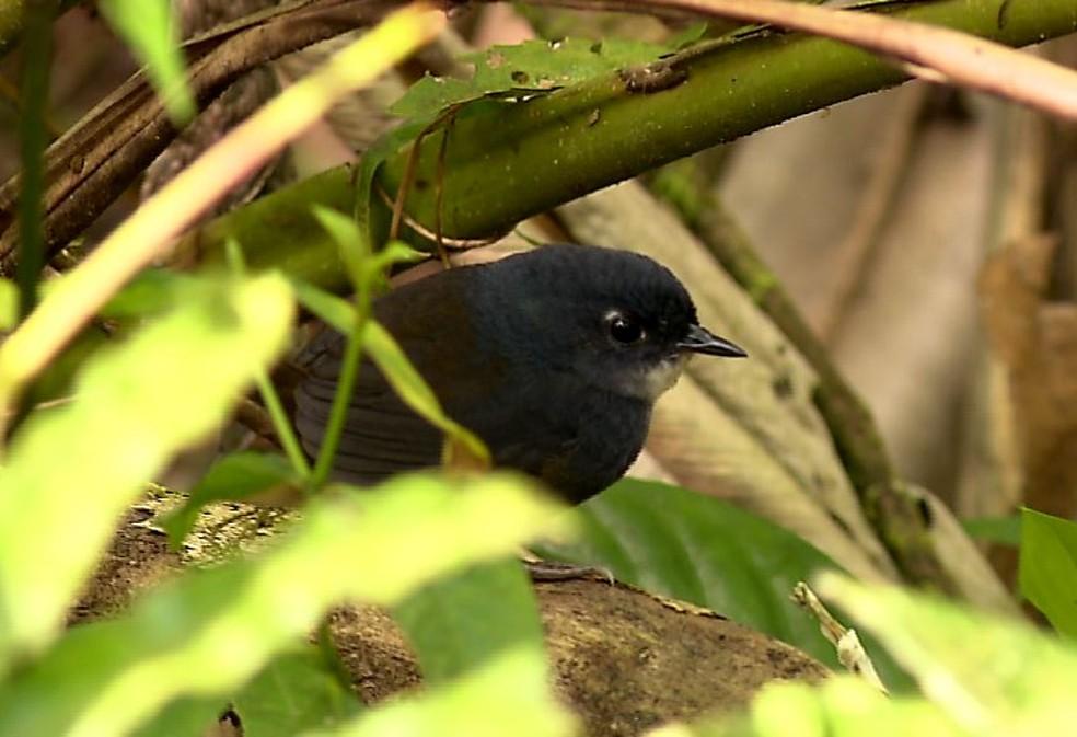 Macuquinho é ave ameaçada mas encontra refúgio e proteção em reserva (Foto: Alexandre Sá/ TG)
