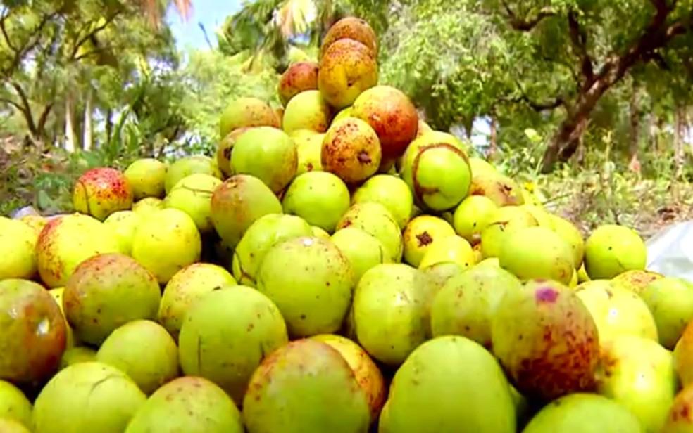 Mangaba; Paraíba foi o maior produtor da fruta em 2019, de acordo com o IBGE — Foto: Reprodução/TV Sergipe