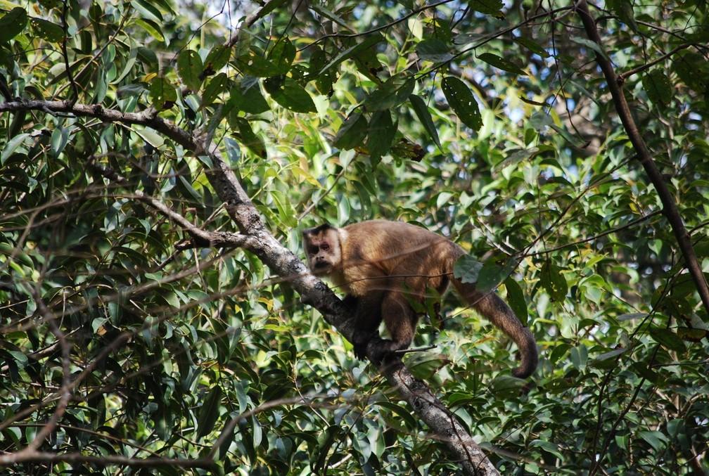 Sapujus Cay, macaco prego, está dentre as espécies ameaçadas que são alvo do plano de proteção  (Foto: Igor Peifer/ICMBio)