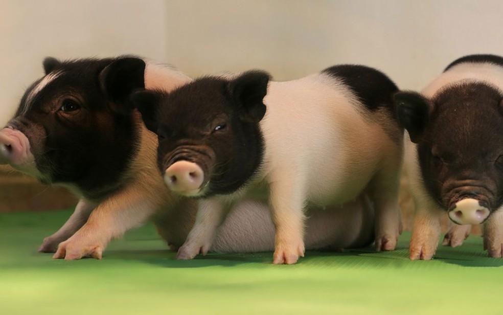 Cientistas usaram técnica de edição de DNA para eliminar vírus de porcos (Foto: eGenesis)