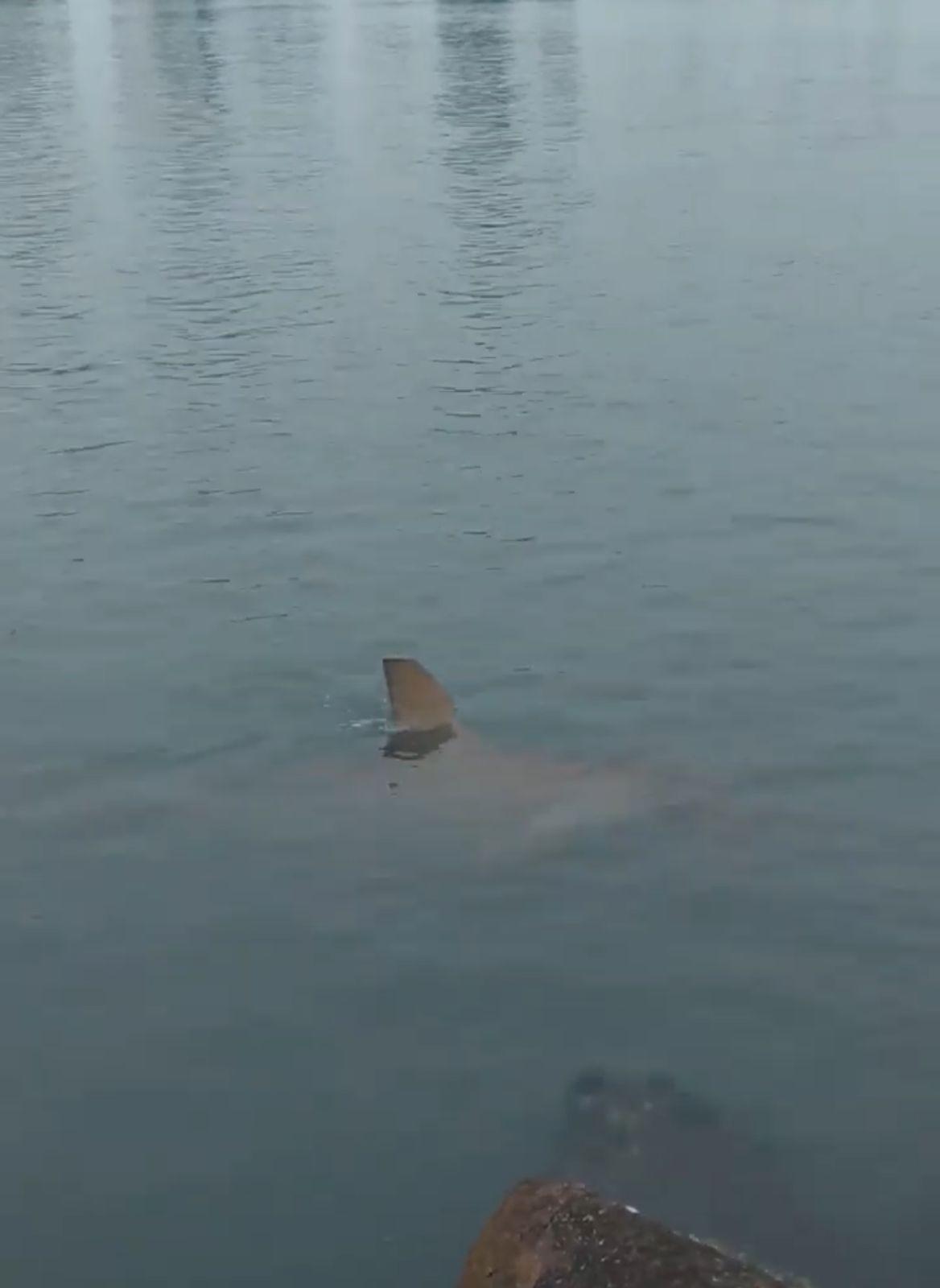 Vídeo mostra tubarão nadando em área de alargamento da praia de Balneário Camboriú