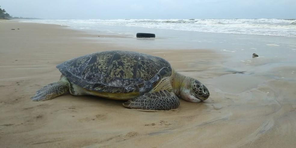 Tartaruga marinha achada morta em Ilhéus tem mais de um metro  — Foto: Projeto (A)mar