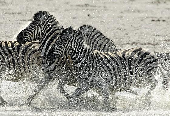Quando em grupo, zebras-da-planície podem confundir seus predadores com a confusão criada pelas linhas verticais  (Foto: © Haroldo Castro/ÉPOCA)