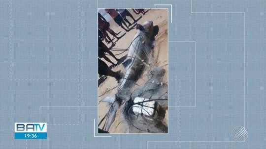 Pescadores capturam tubarão-tigre com 140 kg no sul da Bahia