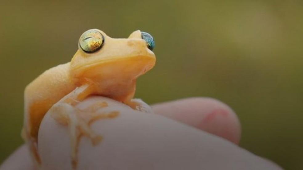Myersohyla Chamaleo, espécie encontrada pela primeira vez no território brasileiro (Foto: BBC)