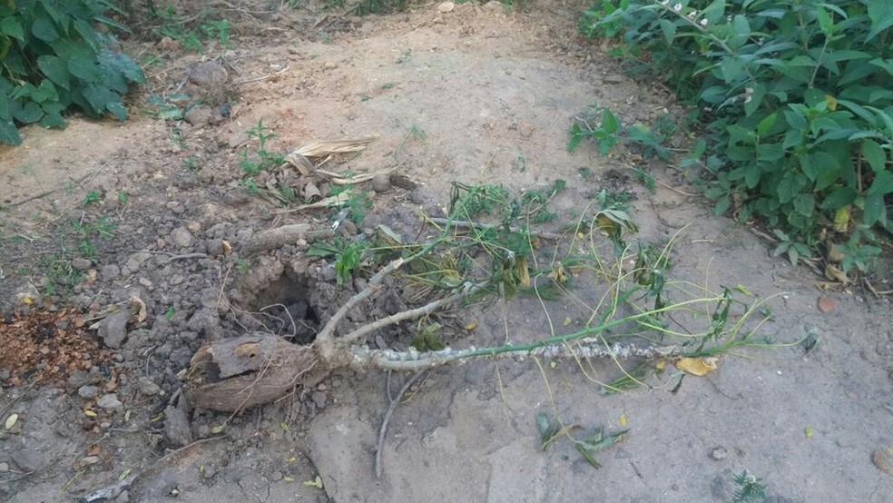 Local de onde a macaxeira de 20 kg foi colhida, na comunidade quilombola Caiana dos Crioulos em Alagoa Grande (Foto: Maria dos Anjos/Arquivo Pessoal)