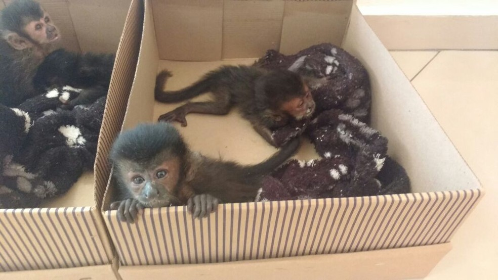 Macacos-prego foram levados para o Cempas para receber o tratamento necessário (Foto: Polícia Rodoviária / Divulgação)