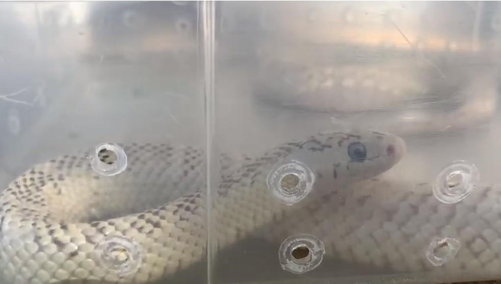 Cobra king snake apreendida no DF — Foto: Reprodução