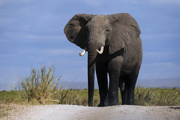 Elefante anda pelo Parque Nacional Amboseli, a 220 quilômetros de Nairobi, nesta segunda-feira (7).  (Fot AFP Photo/Tony Karumba)