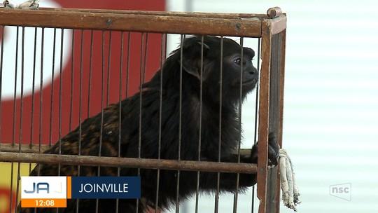 Instituto do Meio Ambiente autoriza que bióloga cuide de macaco abandonado