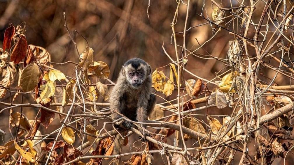 Em intensa busca por alimento, macaco-prego não encontrou comida em margem de rio — Foto: Gustavo Figueirôa/SOS Pantanal/BBC