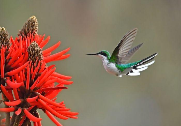 O beija-flor de bochecha azul