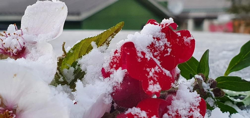 Geada acumulou nas flores em São Joaquim — Foto: Mycchel Legnaghi/São Joaquim Online
