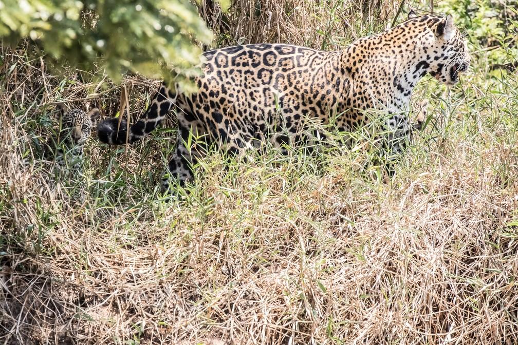 Flagrante de onça-pintada com filhotes é destaque no acervo (Foto: Jeanne Martins/VC no TG)