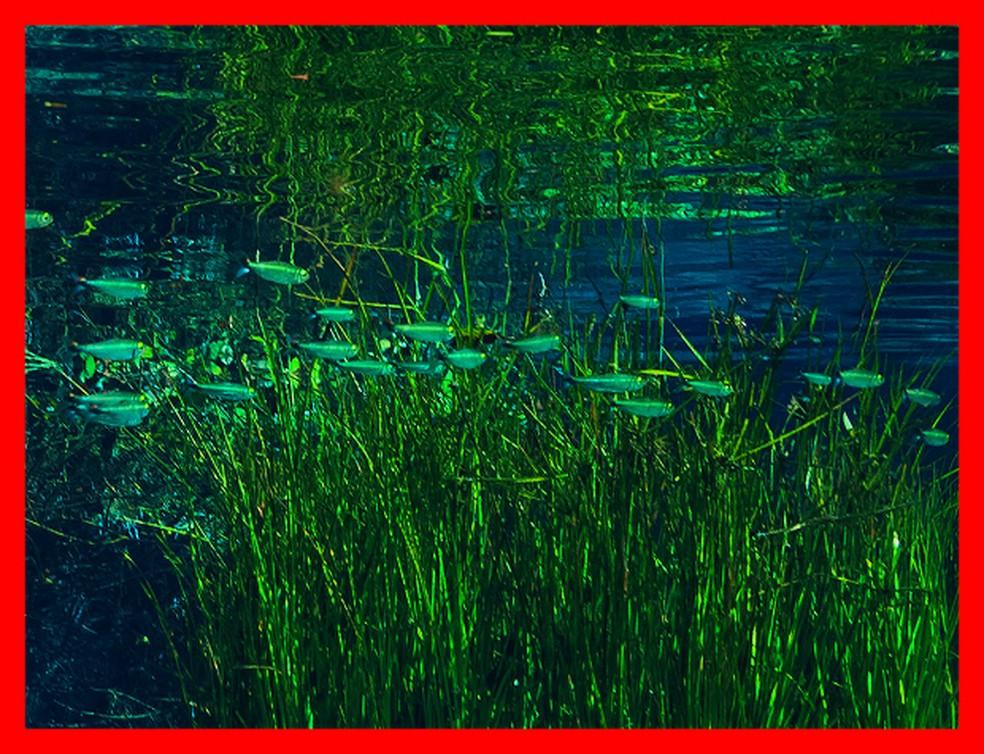 Detalhe da maior foto panorâmica do mundo mostra quantidade de peixes no rio Sucuri (Foto: Marcio Cabral/ Arquivo Pessoal)