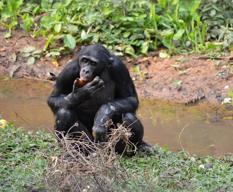 Os bonobos compartilham 98% de seu DNA com humanos — Foto: Pixabay