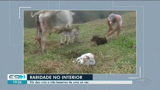 Vaca dá à luz três bezerras em uma só gestação no Sul do ES