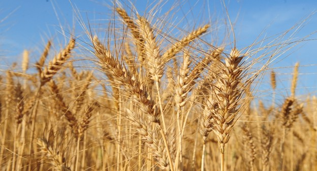 Indústria reforça posição contra trigo transgênico da Argentina