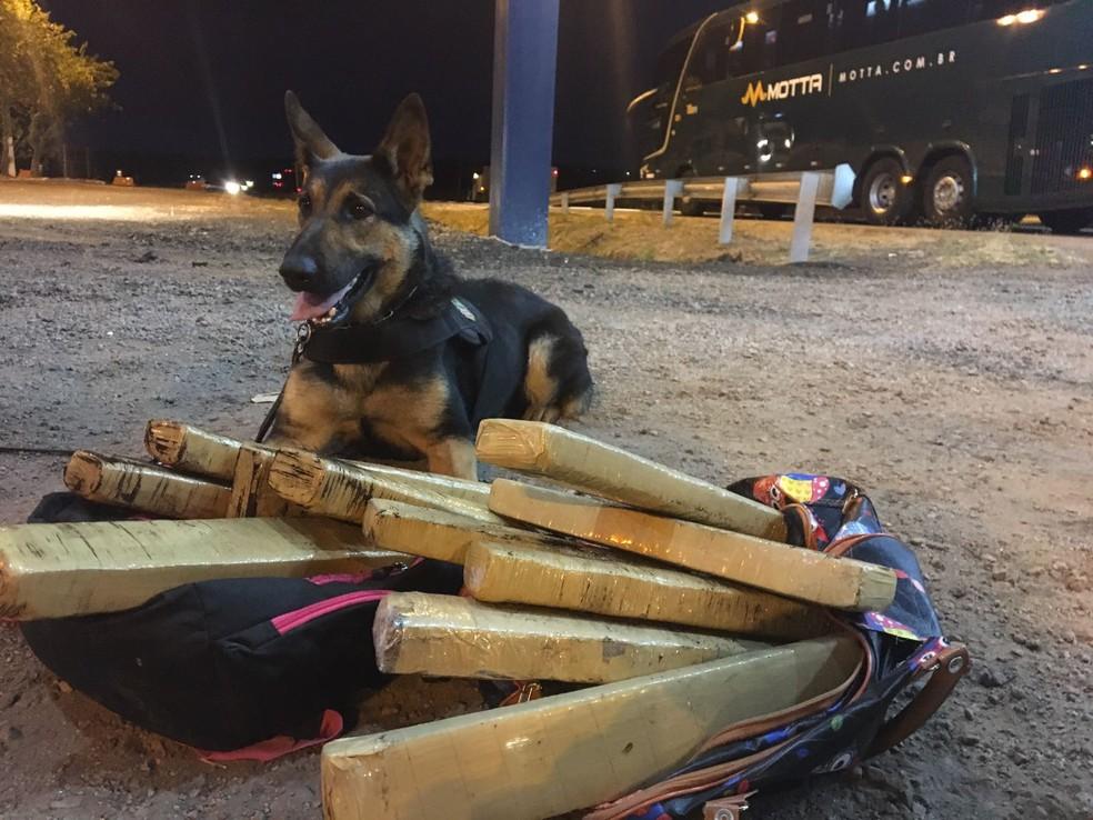 Segundo a Polícia Federal, a droga foi descoberta pela nova cadela farejadora da instituição, Dea (Foto: Polícia Federal de MT/Assessoria)