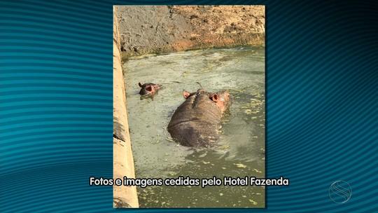 Nasce primeiro filhote de hipopótamo-do-nilo em cativeiro do Nordeste