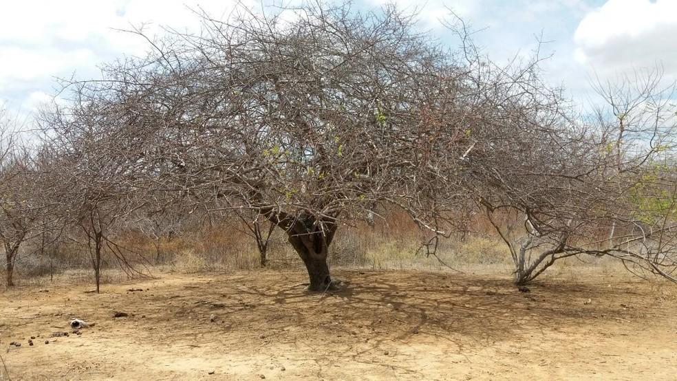 Umbuzeiro, árvore nativa do semiárido brasileiro. (Foto: Évio Galindo)