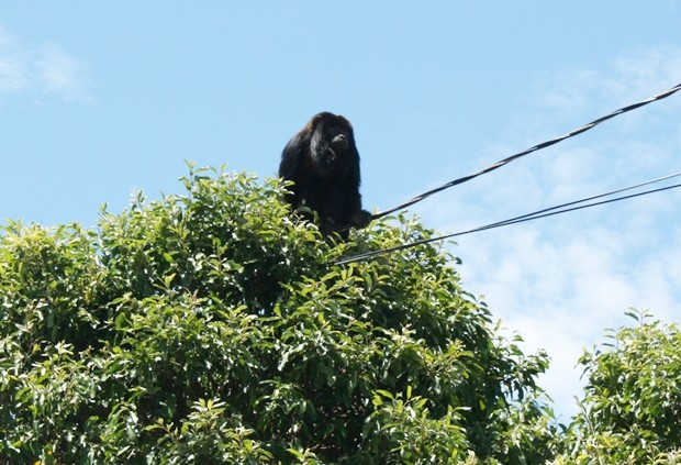 Macaco surpreendeu ao aparecer no topo de árvore (Fot Osmar Ferraz / Jornal A Imprensa)