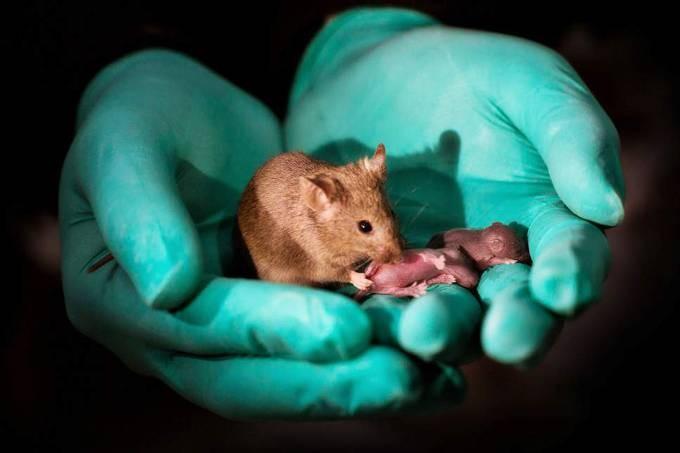 Filhotes de ratos possuem duas mães, segundo pesquisadores (Foto: SWNS/Divulgação)