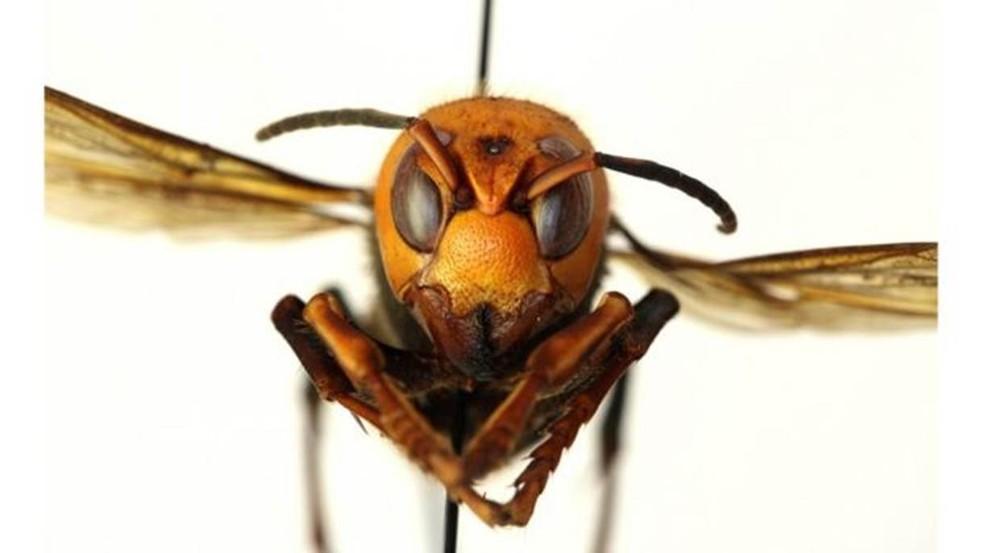 Entidade americana pediu que apicultores e moradores comuniquem imediatamente qualquer encontro com 'vespas assassinas' para evitar a propagação delas — Foto: WASHINGTON STATE DEPARTMENT OF AGRICULTURE via BBC