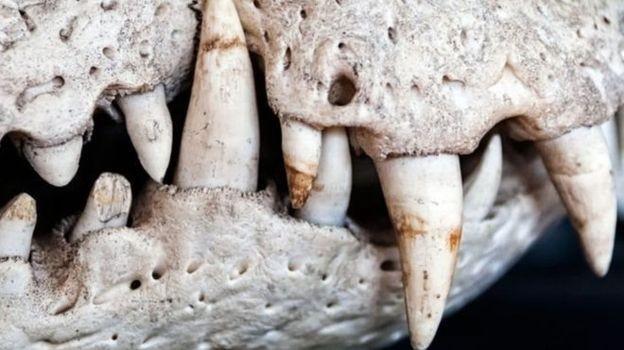 Paleontólogos lamentam a perda de amostras raras - caso de um fóssil quase completo de um pequeno crocodilo - que ainda seriam identificadas (Foto: GETTY IMAGES/BBC News Brasil)