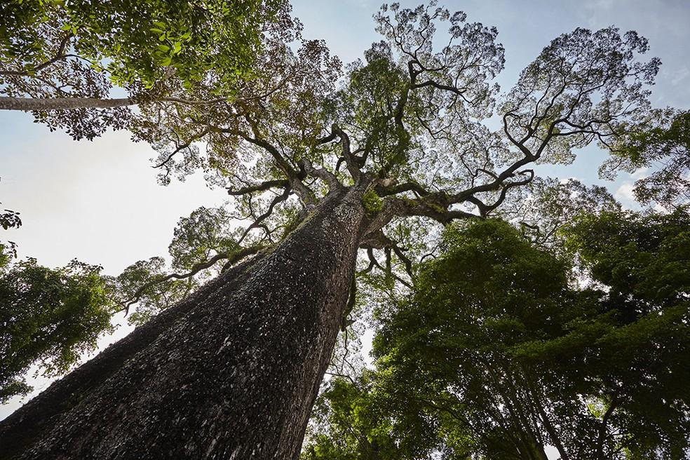 Jequitibá é árvore ameaçada de extinção, clicada no Parque Estadual Vassununga — Foto: Tiago Lima/Olhos da Mata Atlântica