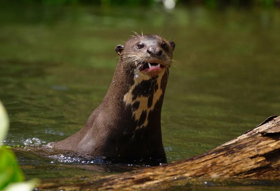 Ameaçada de extinção, ariranha é caçada para o comércio do couro — Foto: Ananda Porto/TG