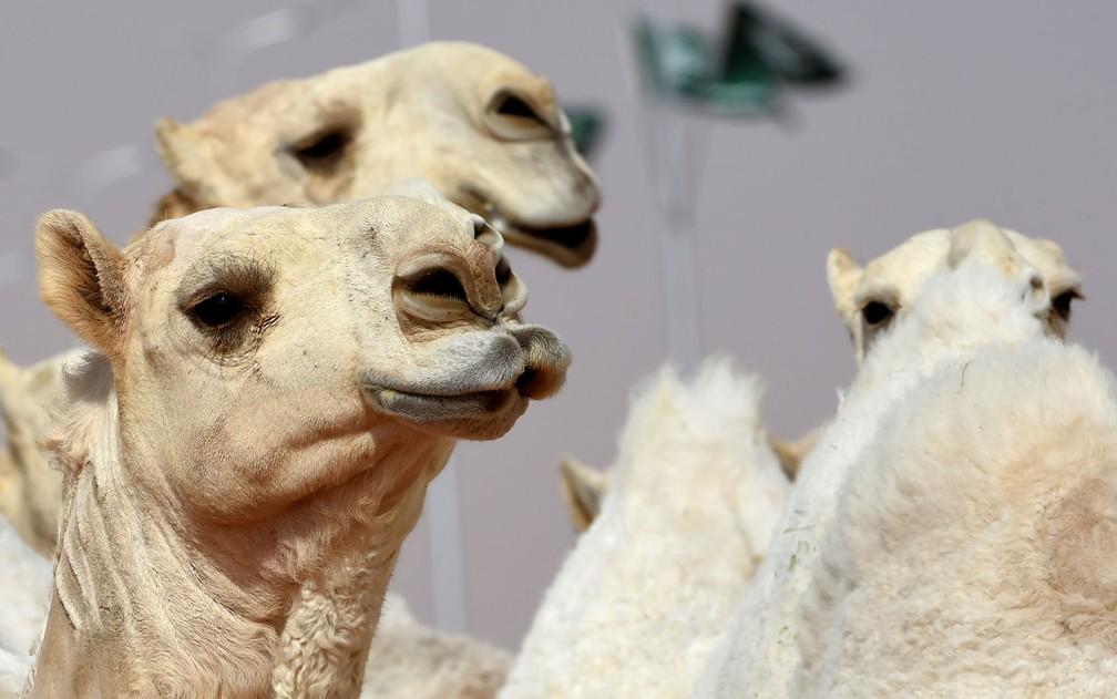 Camelos durante concurso de beleza no anual Festival de Camelos King Abdulaziz em Rumah, na Arábia Saudita, em foto de 2018 — Foto: Fayez Nureldine/AFP