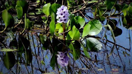 Via Brasil: Pantanal tem plantas que podem promover uma revolução na saúde